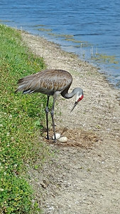 5_21_19 Sandhill Crane guarding her eggs