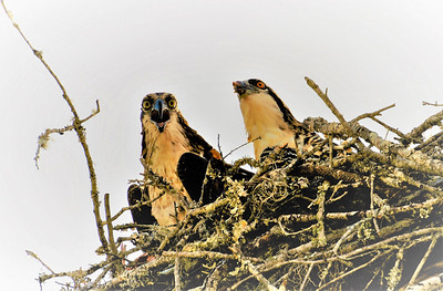 5_7_19 Ospreys at Crystal River