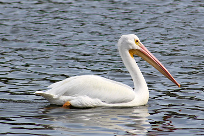 5_31_19 White Pelican in the bay