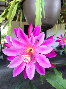 5_19_19 Bloomed flowering cactus