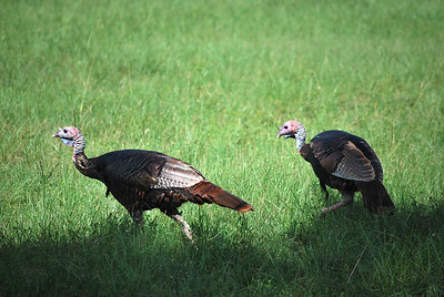 11_28_19 Wild Turkey