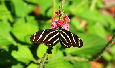 11_1_19 Zebra Longwing Butterfly