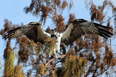 11_9_19 Osprey