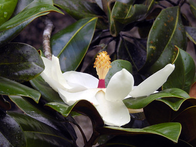 10_14_19 Fully Opened Magnolia Bloom