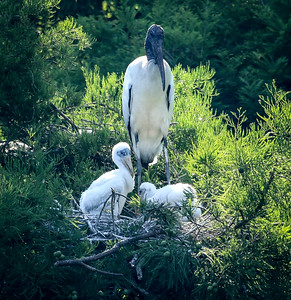 10_6_19 Wood Stork Guarding Nest