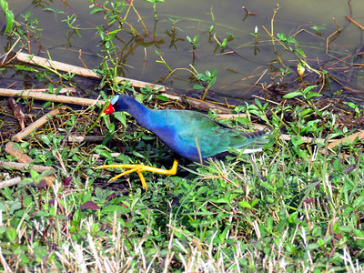 10_8_19 Purple Gallinule At Lake Hollingsworth