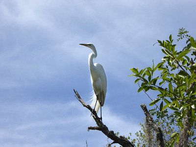 10_10_19 Great Egret In Tree