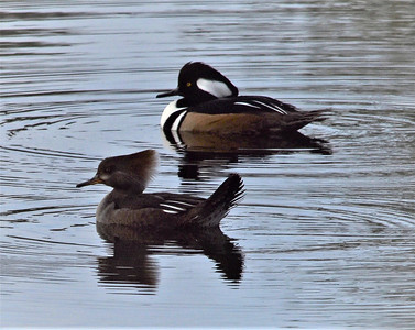 10_17_19 Male And Female Hooded Merganser