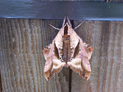 10_3_19 Brown Leaf Moth