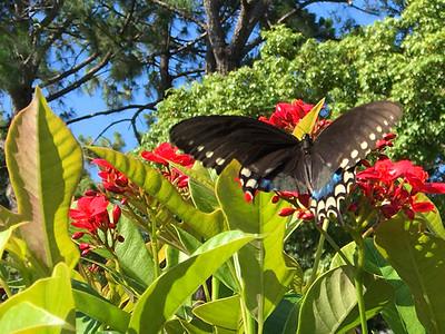 10_15_19 Swallowtail Butterfly