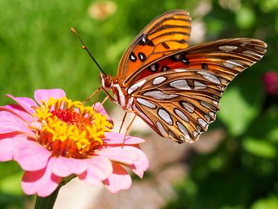 9_20_19 Gulf Fritillary Nectars On Zinnia