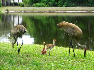 9_22_19 Sand Hill Crane Family