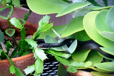 9_24_19 Black Snake Coiled Up In Flower Pot