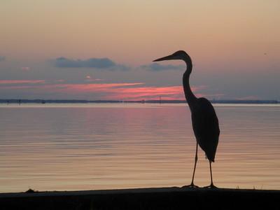 A Great Blue Heron at dawn