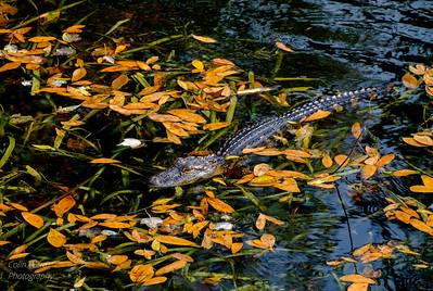 Alligator Lying in Wait