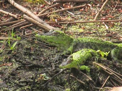 2 Juvenile alligators