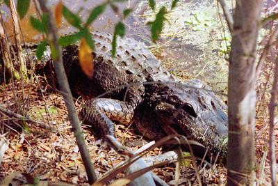 Boyd Hill Gator