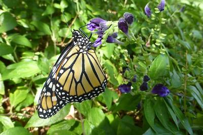 Good Morning Monarch