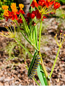 A future Monarch butterfly eating his fill of milkweed)