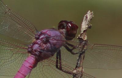 A Male Roseate Skimmer, Orthemis Ferruginea Closeup