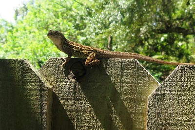 Don't Fence Me In (Brown Anole)