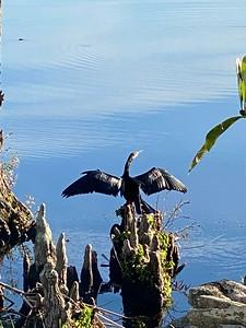 Beautiful Anhinga basking on Lake Tarpon