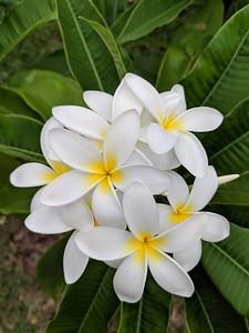 Beautiful smelling Frangipani Plumeria