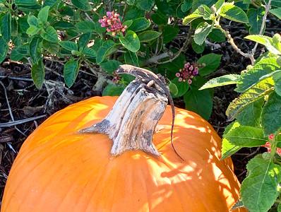 Anole on Pumpkin