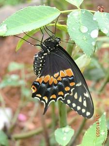 Ellen Mahany, Seminole_Black Swallowtail Fresh from Chrysalis_8-20-20