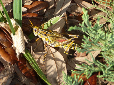 A large, colorful grasshopper