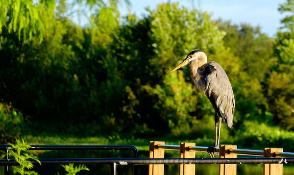4_30_20 Great Blue Heron Looking for Breakfast