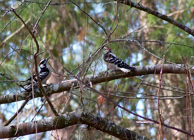 4_10_20 The Elusive Downy Woodpeckers