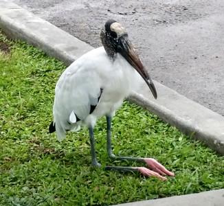 4_5_20 A Wood Stork at rest
