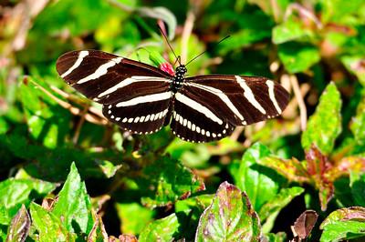 4_25_20 Zebra Longwing