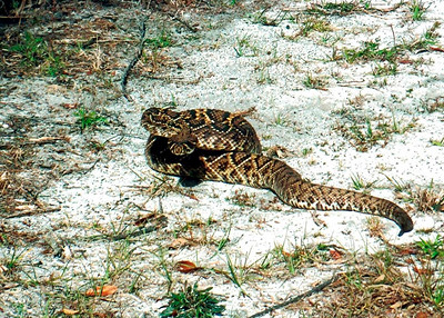 4_3_20 Eastern Diamondback Rattlesnake
