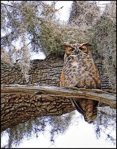 4_26_20 Great Horned Owl