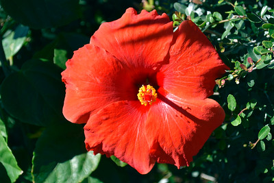 4_11_20 Hibiscus bloom