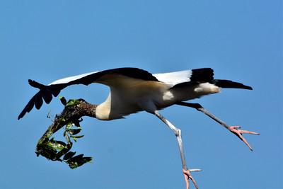 """4_17_20 Wood Stork making a nest """"Safer at Home"""""""