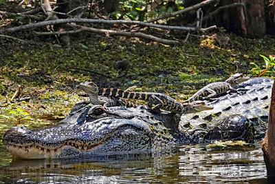 8_27_20 Mama gator & babies