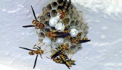 8_22_20 Wasps Nesting