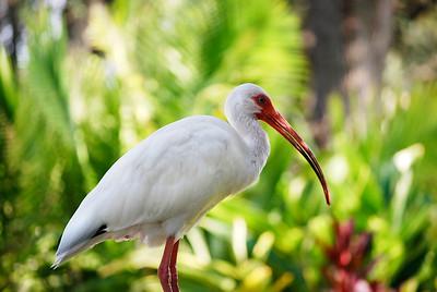 8_5_20 White Ibis