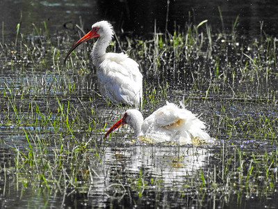 8_17_20 Ibis Cooling Off