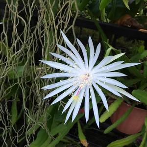 8_26_20 Rare white cactus blooming
