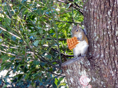 8_16_20 Squirrel Eating A Waffle