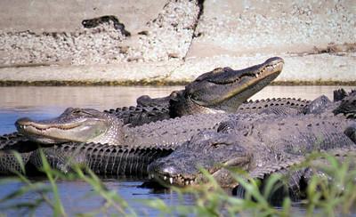 8_11_20 Gators Myakka River State Park