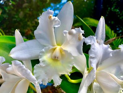 8_6_20 Hawaiian Wedding Orchid in bloom