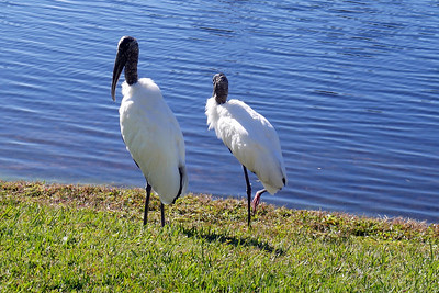 8_20_20 Wood storks, relaxing by the water