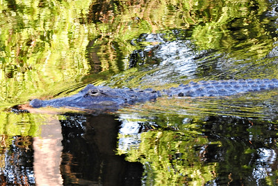 8_1_20 Gator in Pond behind my house