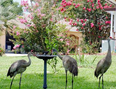 8_28_20 Cranes at our bird bath
