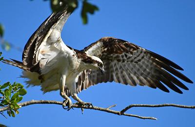 12_23_20 Osprey